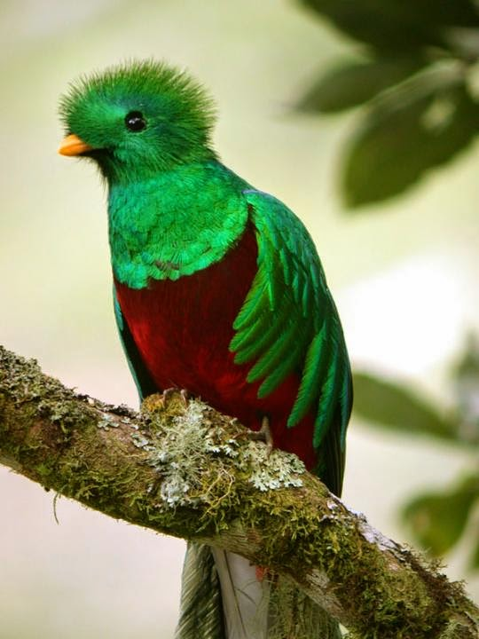 quetzal guatemalteco Pharomachrus mocinno