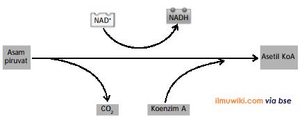 gambar proses pengubahan satu asam piruvat menjadi asetil koenzim A