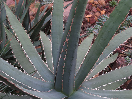 agave potatorum Meijer Gardens