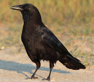 Good and Bad Omen for Crow