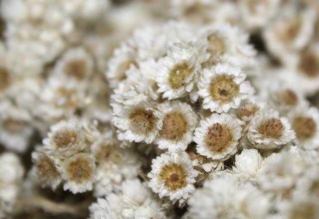 Edelweiss (bunga keabadian)