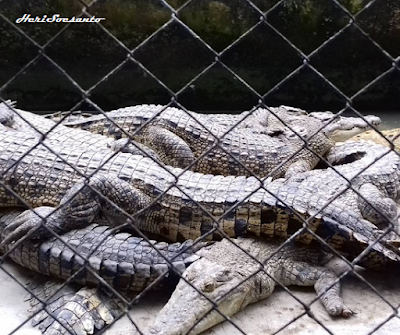 Breeding Crocodiles - Asam Kumbang2