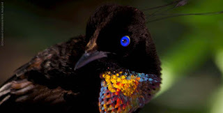 Six Wired Bop, Papua Endemic Bird of Paradise