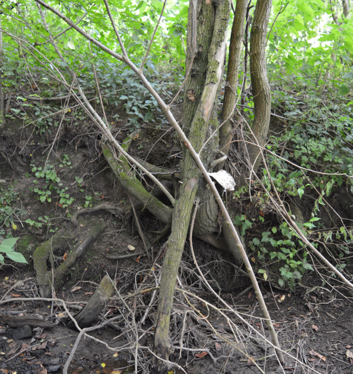 Erosion of tree roots River Ecclesbourne