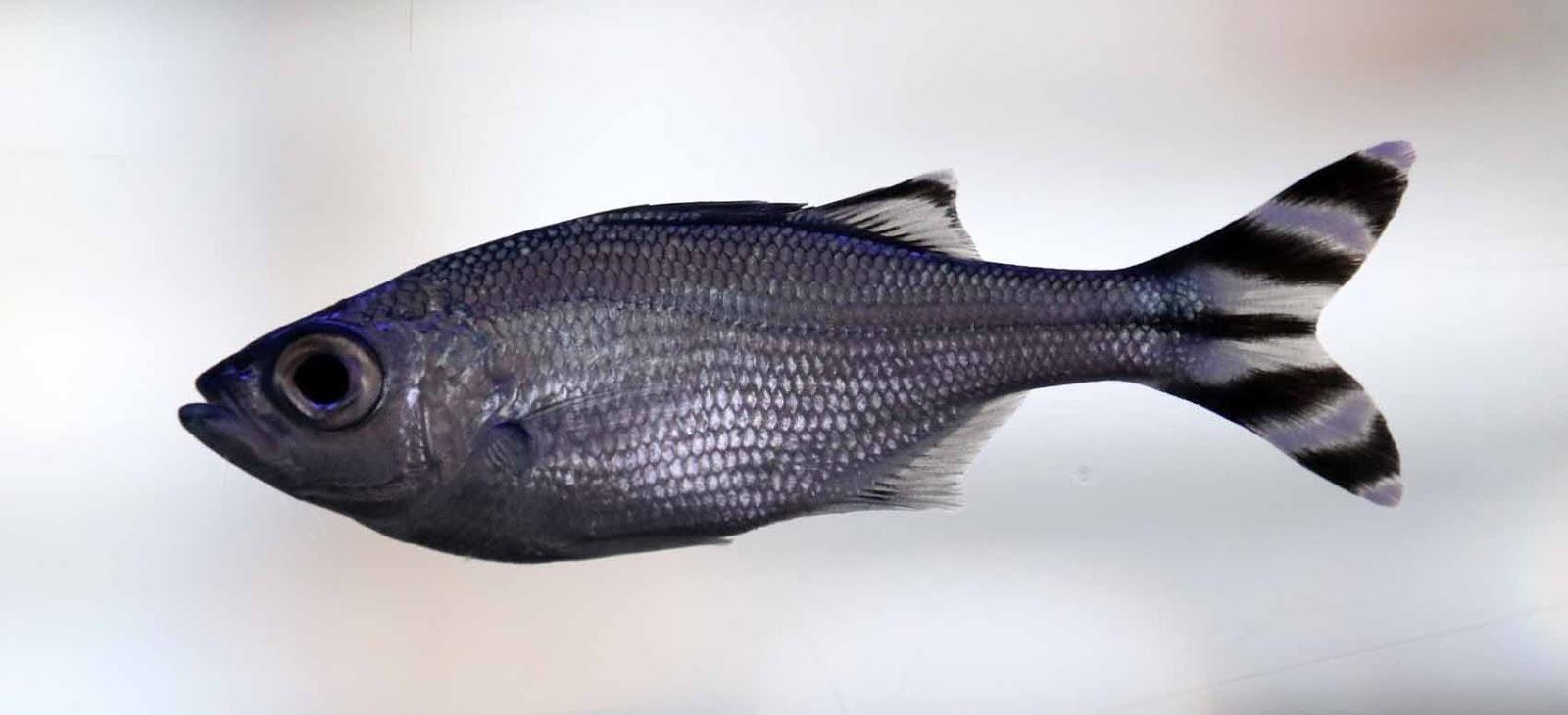 Kødbyens Fiskebarin akvaarion asukki