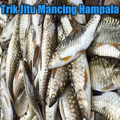 Umpan ikan hampala atau kebaraw sungai deras, sebenarnya ada banyak sekali yang bisa kalian gunakan, kebanyakan pemancing mengunakan cara kesting untuk memancing ikan hampala ini. Karena ikan ini termasuk predator air deras, jadi sangat mudah untuk memancingnya mengunakan umpan tiruan.