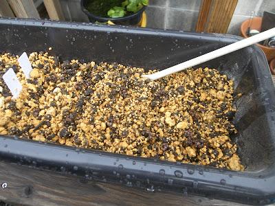 ケヤキ 種蒔き