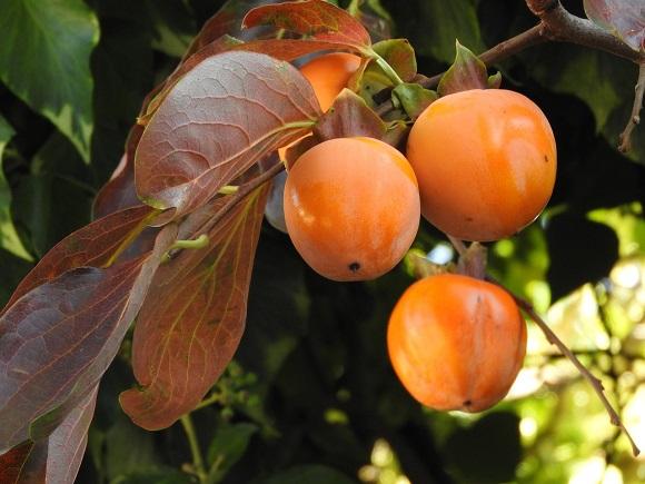 kaki-plodovi
