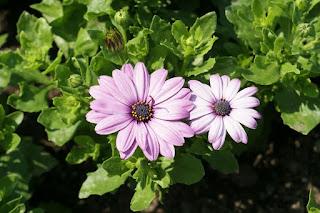 Dimorphotheca ecklonis 'Serenity Pink' - Osteospermum ecklonis 'Serenity Pink'