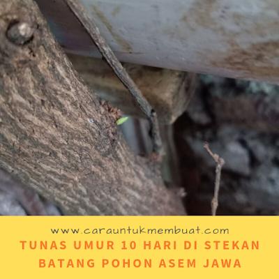 Tunas Umur 10 Hari Di Stekan Batang Pohon Asem Jawa