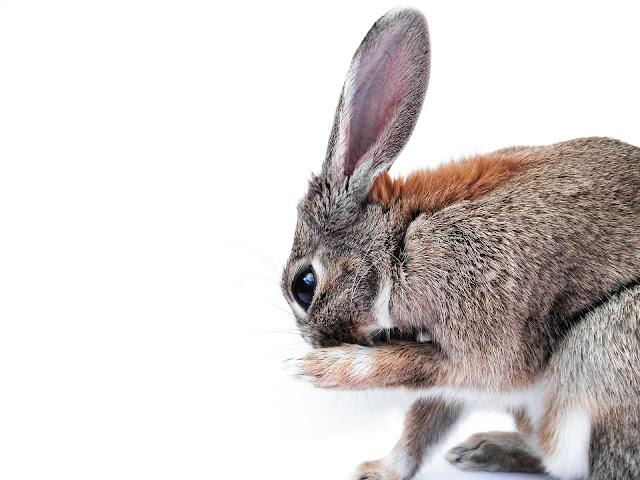 Cara berternak Kelinci, Cara membuat kandang kelinci yang baik dan benar, faktor yang berpengaruh pada kesehatan kandang, Membuat kandang kelinci yang sehat., Peternakan,