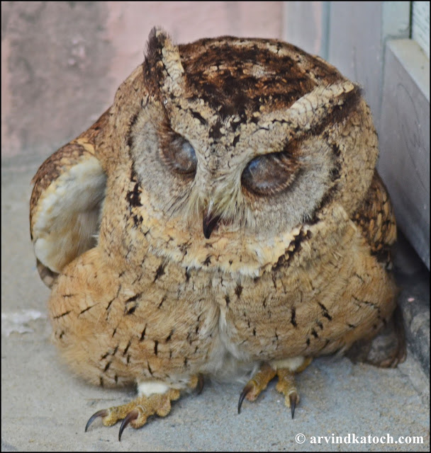 Indian Scops Owl with Closed eyes