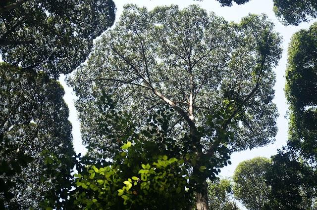 The timid foliage phenomenon creates a winding river on the trees