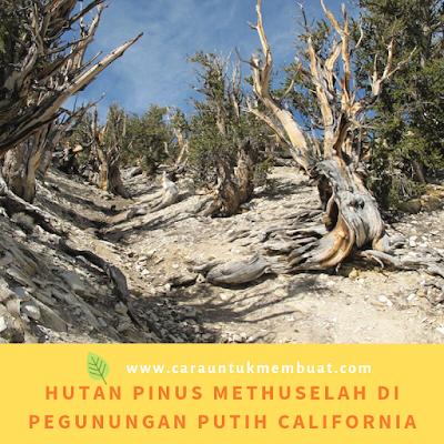 Hutan Pinus Methuselah Di Pegunungan Putih California