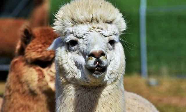 Otorgarán créditos a productores de fibra de alpaca y vicuña de Arequipa y Puno