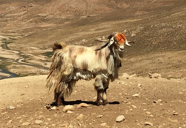 Penelitian Ancient genome reveal goat domestication since 8,500 BC