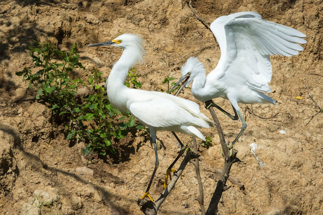 Snowy Egrets, Smith Oaks Audubon Sanctuary