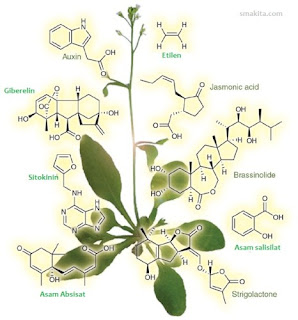 Hormon pada tumbuhan ( Fitohormon )