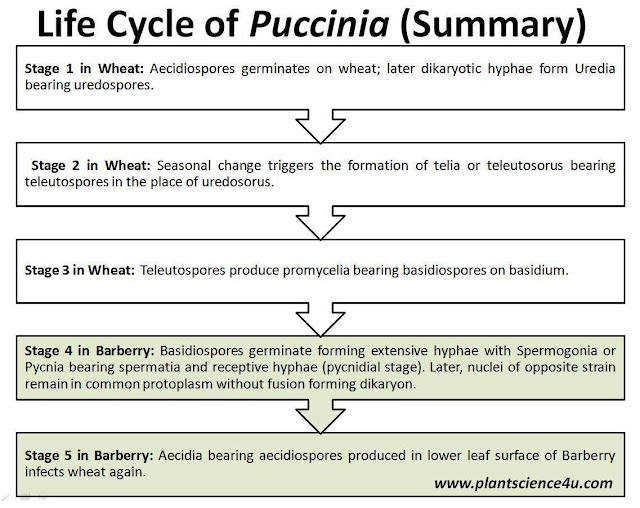 Summary of life cycle of Puccinia