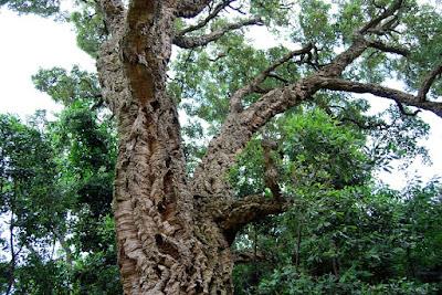 albero-sughero-pannelli di sughero-isolante ecologico