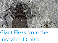 https://sciencythoughts.blogspot.com/2012/03/giant-fleas-from-jurassic-of-china.html