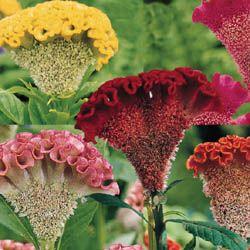 As flores espessas, achatadas, felpudas ou emplumadas são ideais para arranjos internos e aparecem do meio ao fim do verão até meados do outono.  O caule é ereto, suculento e não ramificado. As folhas elípticas e em forma de lança são verdes ou vermelho-bronzeadas.  As plantas têm ciclo anual de vida e podem alcançar de 30 a 80 cm de altura.