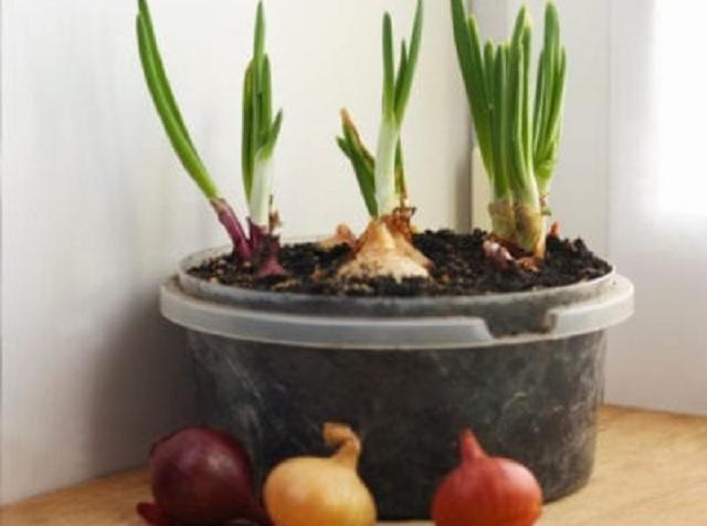 bawang pot onion