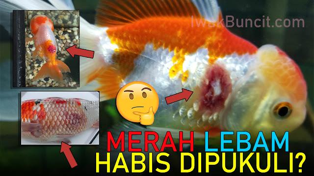 Muncul Luka Lebam di Badan Ikan Mas Kokimu? Fix Penyakit Aeromonas: Suntik dengan Obat Ini