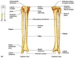 Fungsi Tulang Betis Beserta Anatomi dan Penjelasannya