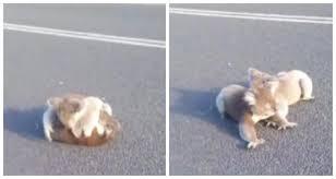 Женщина увидела посреди дороги пушистый комок из играющих коал, ей удалось спасти малышей от грузовика