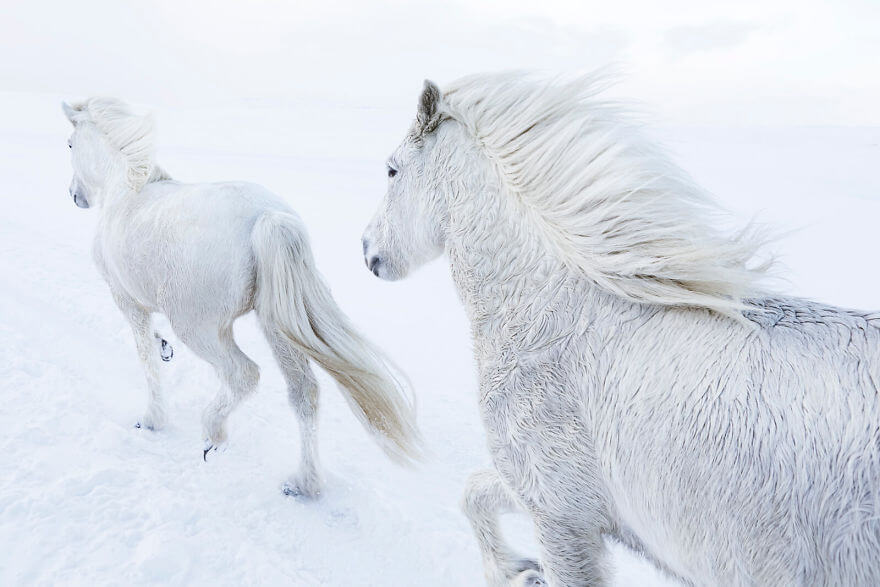 Captivating Photo Series Captures The Beauty Of Icelandic Horses
