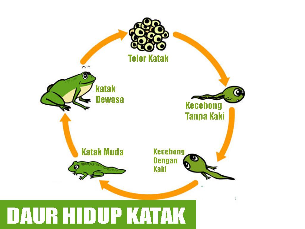 Daur hidup nyamuk katak kupu kupu kecoak dan kucing belajar daur hidup nyamuk katak kupu kupu kecoak dan kucing belajar daur hidup hewan ccuart Gallery