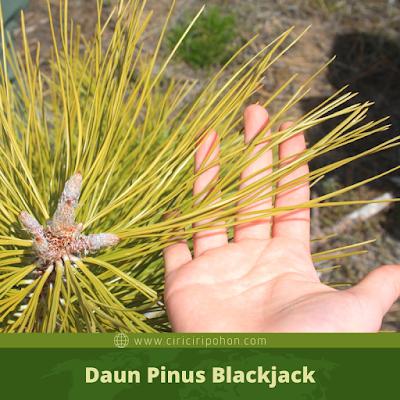 Ciri Ciri Daun Pinus Blackjack