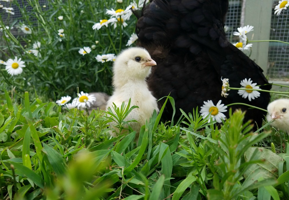 Five Ways to Encourage a Hen to go Broody | Fresh Eggs Daily®