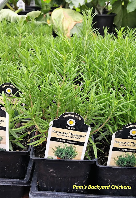 Rosemary uses are as varied as its varieties from the kitchen, throughout the house and even to the chicken coop.