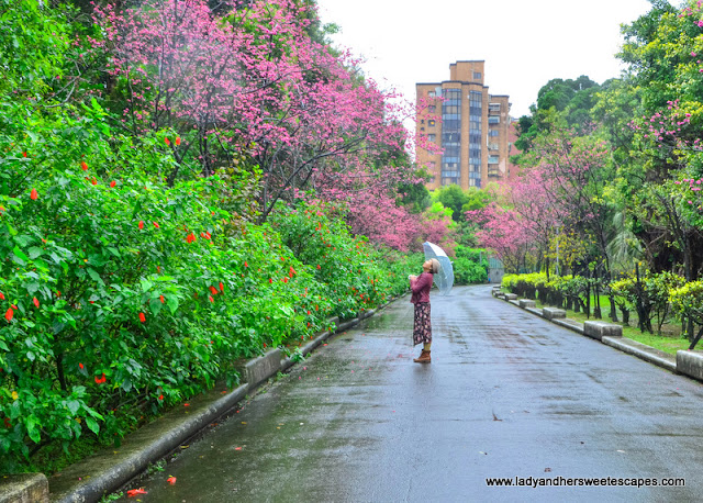 Cherry Blossoms in Sun Yat Sen Taipei