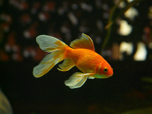 Goldfish baby
