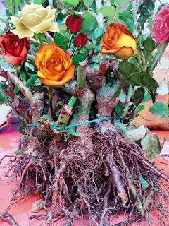hoa hồng rễ trần