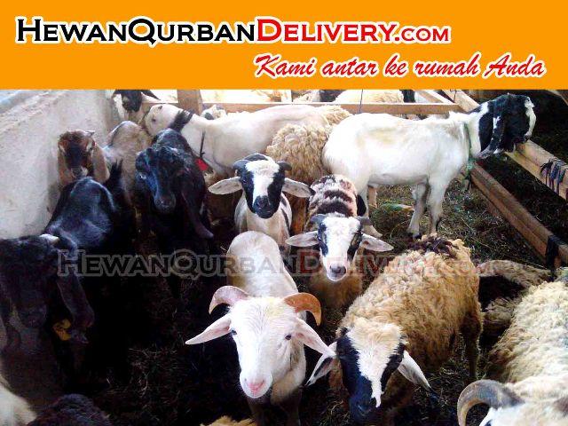 Harga Kambing Qurban 2017