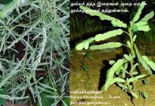 Phyllanthus amarus sleeping