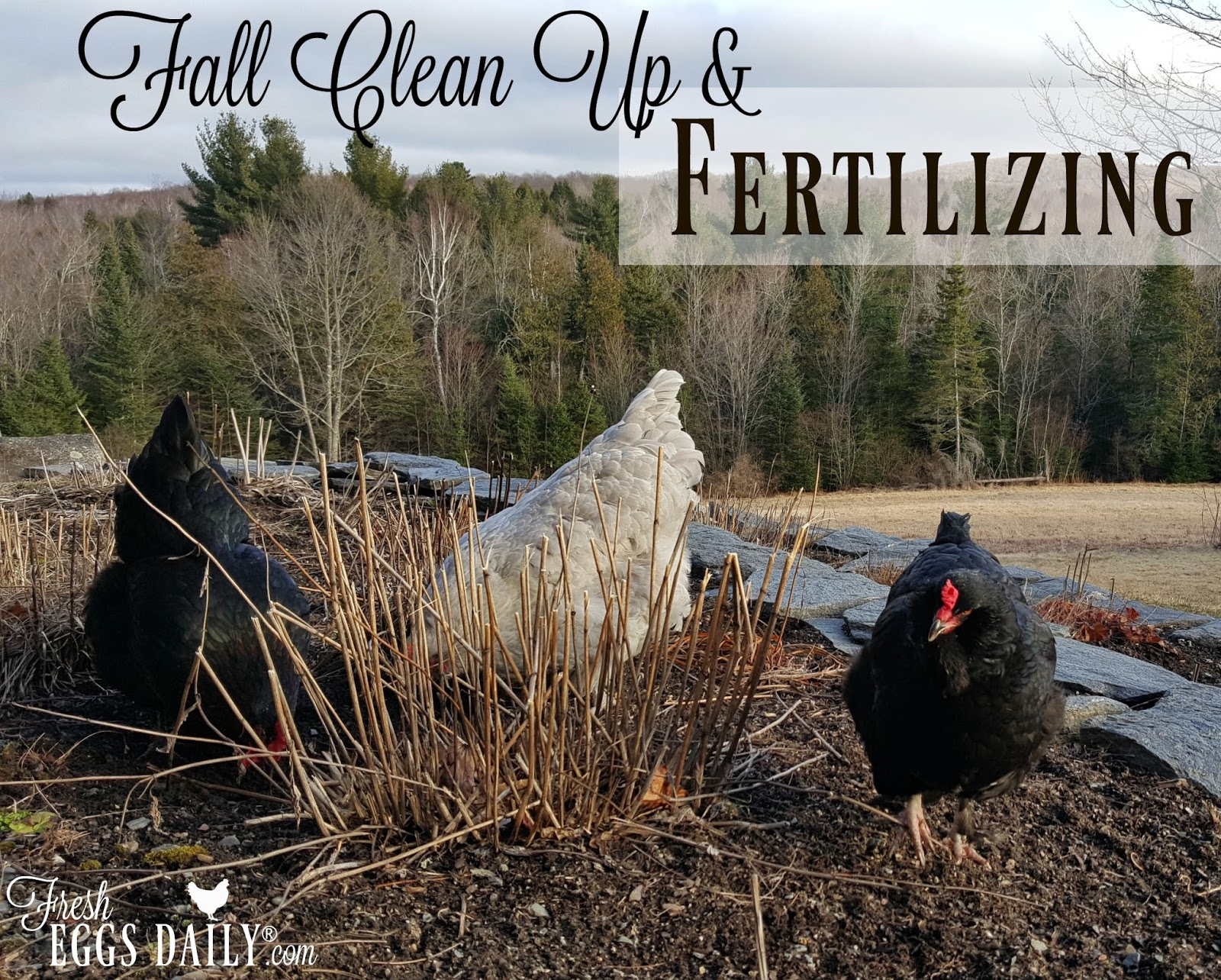 Gardening with Chickens: Fall Cleanup and Fertilizing | Fresh Eggs ...