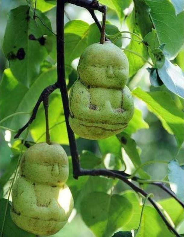 biji benih bibit buah pear boneka 4 biji Sumatra Selatan