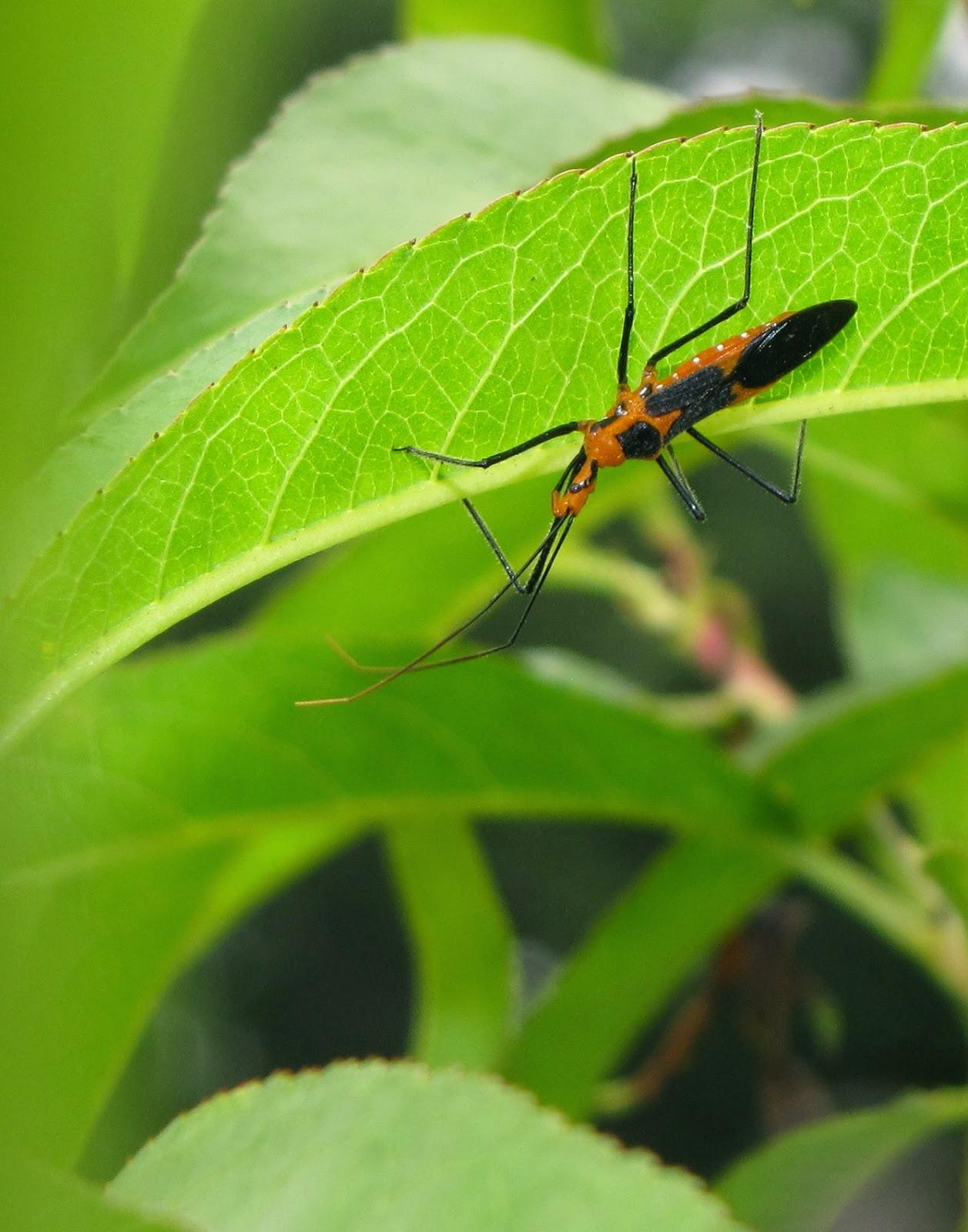 Bug Eric: Sundew Assassin Bugs: Zelus