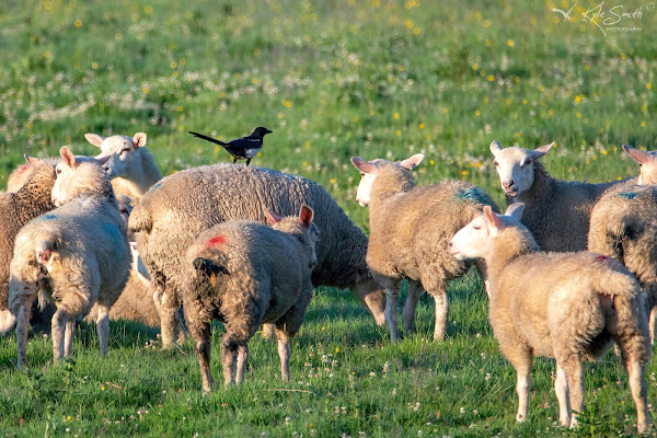 Magpie on sheep