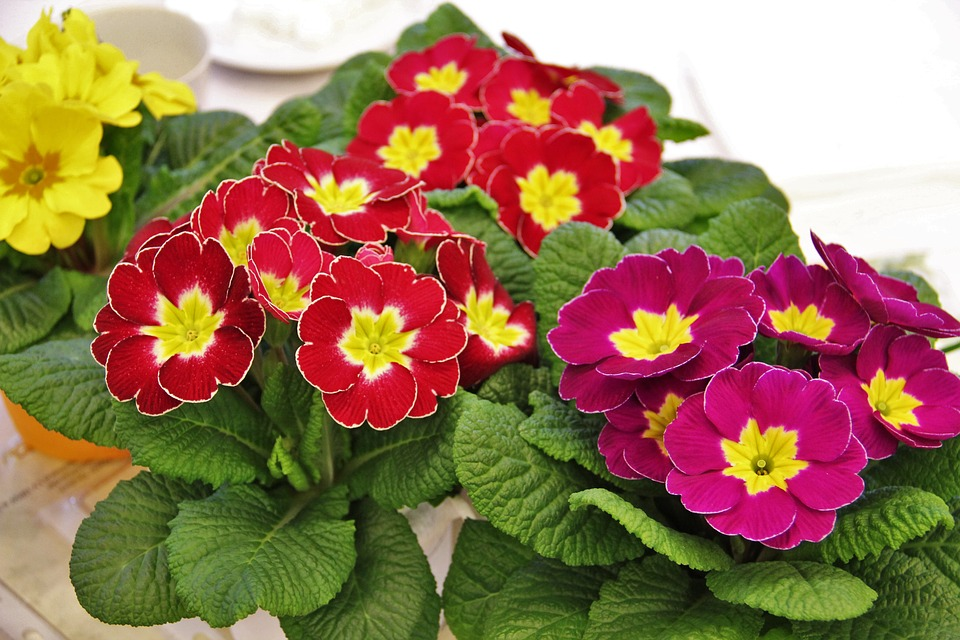 زهرة الربيع أو زهرة بريمولا وطريقة الاعتناء بها بالمنزل وفوائدها