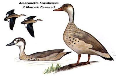 Pato cutiri Amazonetta brasiliensis