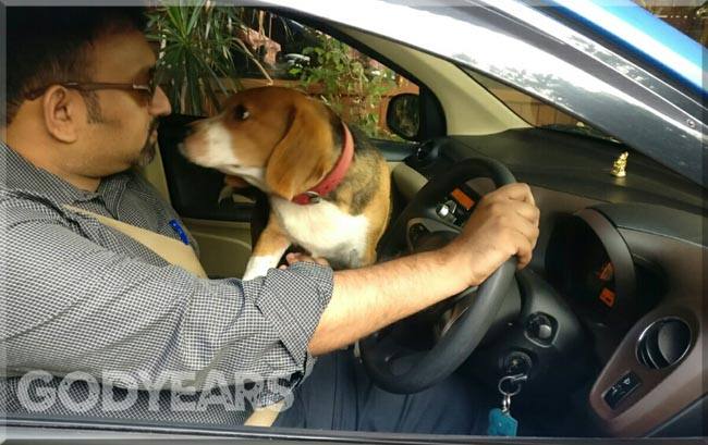 Snoopy the beagle trying to stop me from driving the car