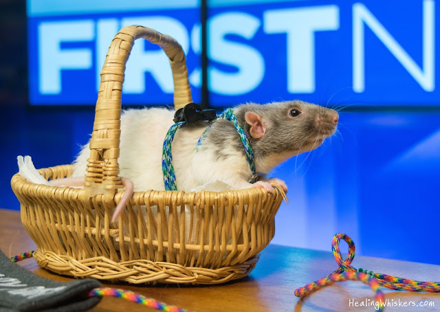 Vincent the therapy rat in a basket