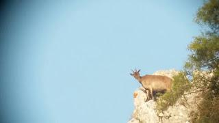 Cabra montés en la Sierra Sur