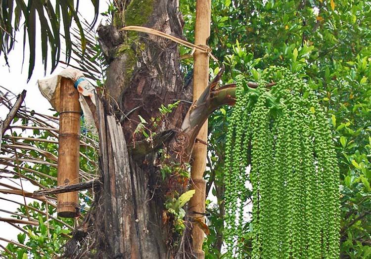 Pohon Enau Penghasil Gula Aren Untuk Obat Herbal